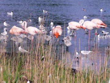 Flamingo's spotten in het Zwillbrocker Venn